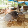 Stock Photo: Water buffalo in stables