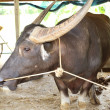 Water buffalo in stables — Stockfoto