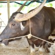 Water buffalo in stables — Stock Photo