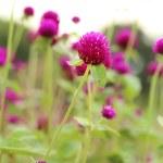 Globe amaranth or Gomphrena globosa flower — Stock Photo #31217011