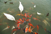 Swan and duck with koi fish swimming in pond — Stock Photo