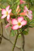 Tropikalny kwiat różowy Adium — Zdjęcie stockowe
