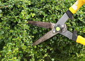 Trimming bushes with scissors — Stock Photo