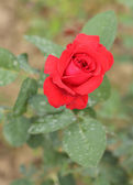 Rose flower in the garden — Stock Photo