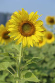 Sunflower in the field — Stock fotografie