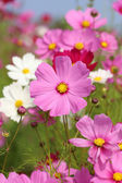 Beautiful cosmos flower — Stock Photo