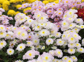 Chrysanthemums flowers — Stock Photo