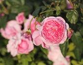 Růžová růže květ v závodě — Stock fotografie