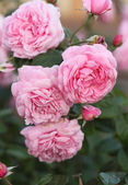 Pink rose flower in plant — Stock Photo