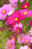 Beautiful cosmos flower — Stock Photo