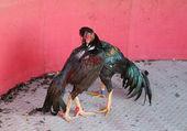 Cock Fighting — Stock Photo