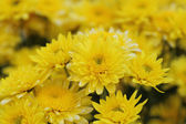 Yellow chrysanthemums flowers — Stok fotoğraf