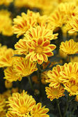 Yellow chrysanthemums flowers — Stock Photo