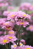 Chrysanthemums flowers — Foto Stock
