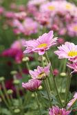 Chrysanthemums flowers — Stock Photo