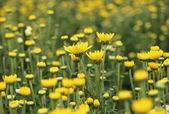 Yellow chrysanthemums flowers in the garden — Stock Photo