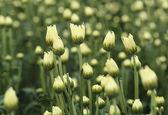 цветы хризантемы — Стоковое фото