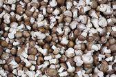 Fresh shiitake mushroom — Stock Photo