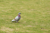 Pigeon on green grass — Stock Photo