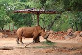 Rhino eating grass — Stock Photo