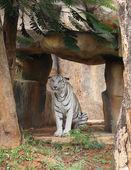 Grande tigre branco descansando — Fotografia Stock