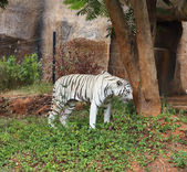 Gran tigre blanco descansando — Foto de Stock