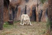 White lion resting — Stock Photo