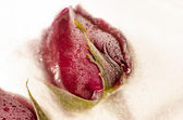 Frozen red rose in white frost — Stock Photo