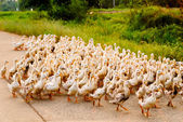 Family of ducks walking a straight line — Stockfoto