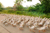 Family of ducks walking a straight line — 图库照片