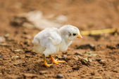 Adorable baby chick  — Stock Photo