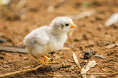 Adorable pollito — Foto de Stock