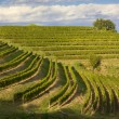 Vineyards on a Summer Afternoon — Stock Photo