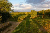 Vineyards on a Summer Evening — Stok fotoğraf