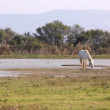 Camargue Horse In The Wild — Stock Video