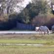 Camargue Horses In The Wild — Stock Video #36286527