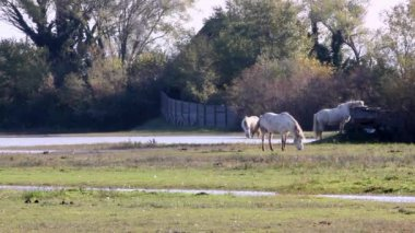 Camargue Horses In The Wild — Stock Video