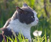 Gray and White Cat — Stock Photo