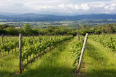Rural Landscape With Vineyard in the Foreground — Stock Photo