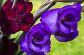 Opening flowers of burgundy -crimson and purple Gladiola-gladiol — Stock Photo