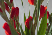 Scarlet red Gladiola-Gladioli-Gladiolus — Stock Photo