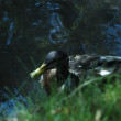 Stock Photo: Mallard ducks in water