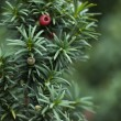 Stock Photo: Close up of Yew Tree branch
