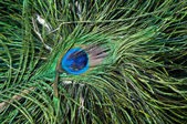 Colorful peacock feather — Foto Stock