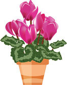 Pink cyclamen in a flower pot isolated on a white background — Stock Vector