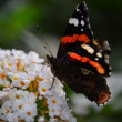 Butterfly   / schmetterling — Stock Photo
