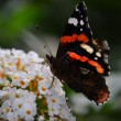 Butterfly / schmetterling — Stock Photo #13175726