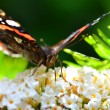 Butterfly III — Stock Photo #13175967
