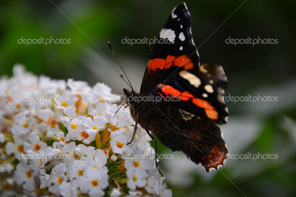 Schmetterling  Stock Photo #13175726