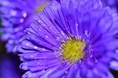 Lila blüte mit tropfen — Stock Photo